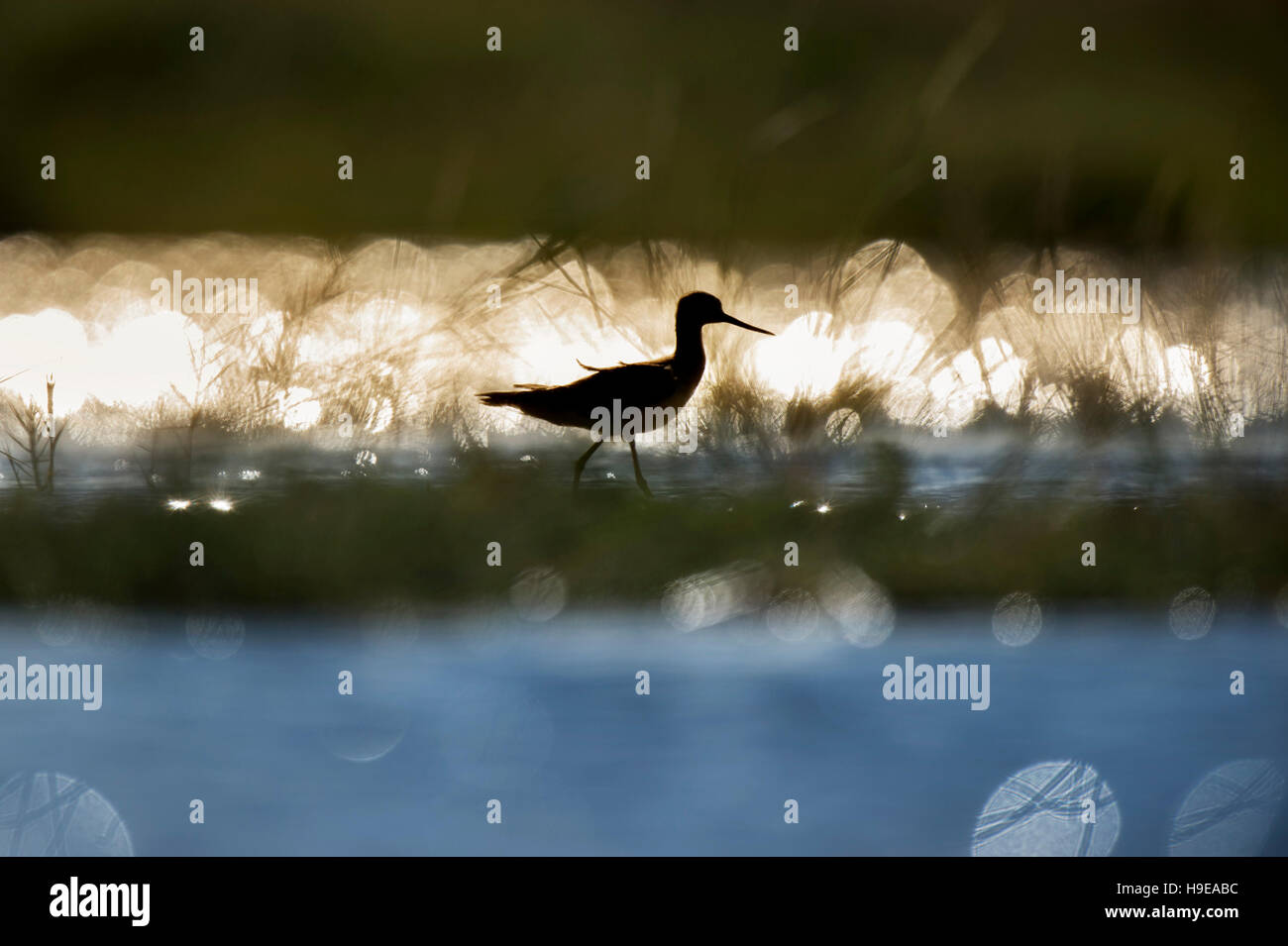 A Greater Yellowlegs is silhouetted against the reflection of the bright sun on the water on a sunny day. - Stock Image