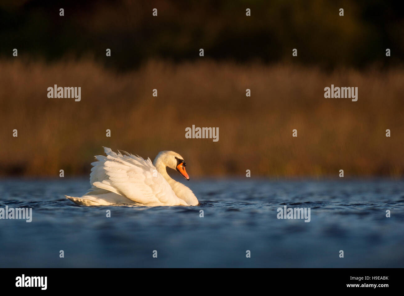 A Mute Swan swims along as the first rays of sunshine light up the ...