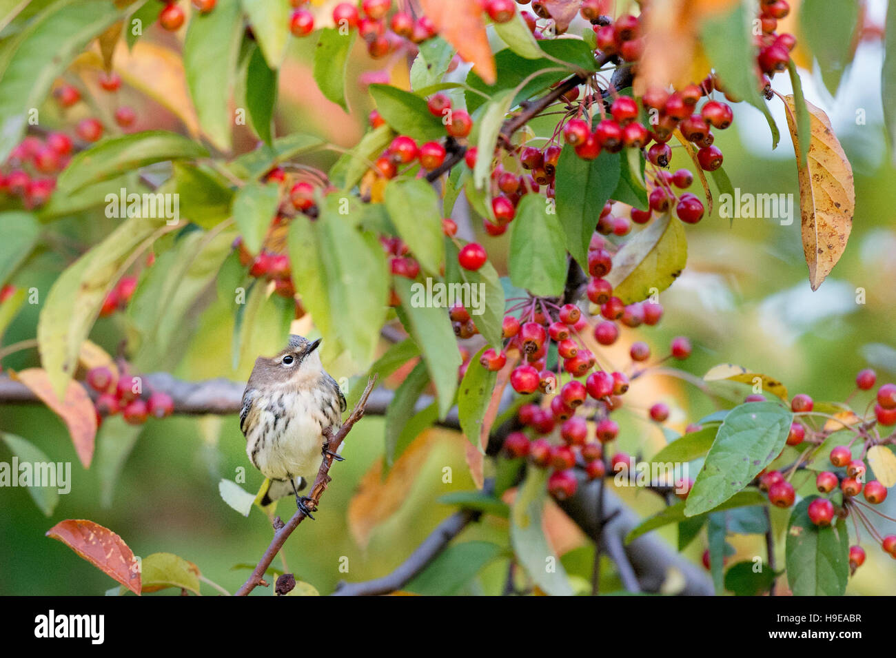 A Yellow-rumped Warbler perches in a tree filled with bright red berries and some colorful fall leaves. - Stock Image