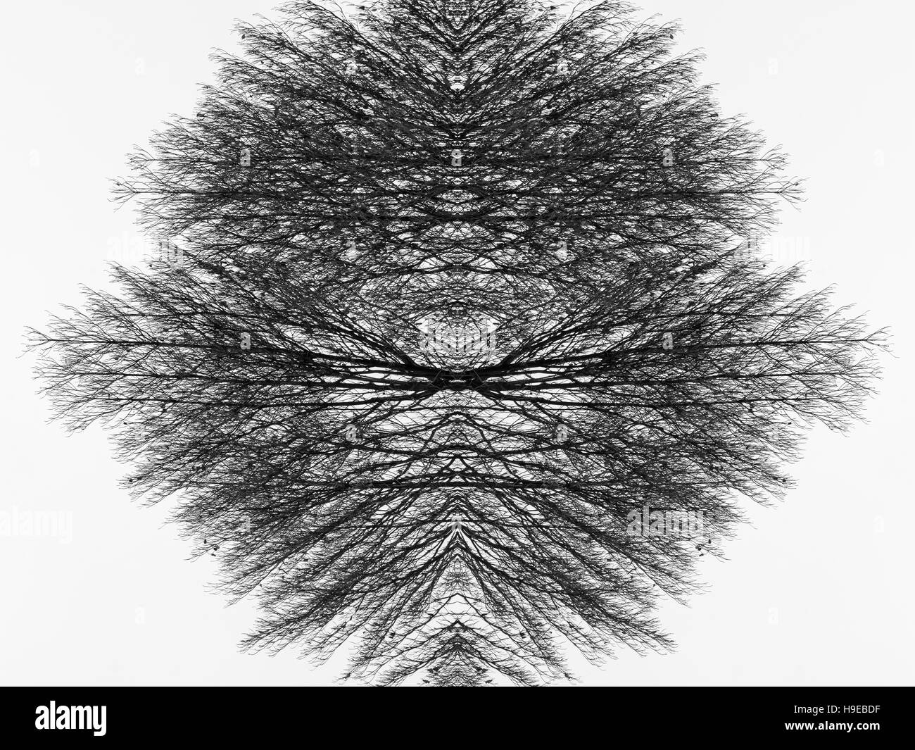 Symmetrical art concept of dry branches of an old dead tree. Black and white photography. - Stock Image