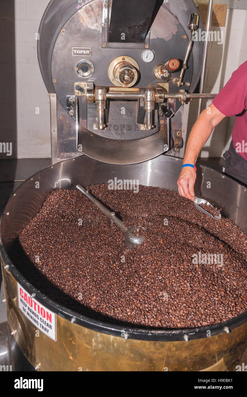 Craig Kelly the head roaster checking the beans at the roasting machine at Green Farm coffee in Rackheath , Norwich - Stock Image