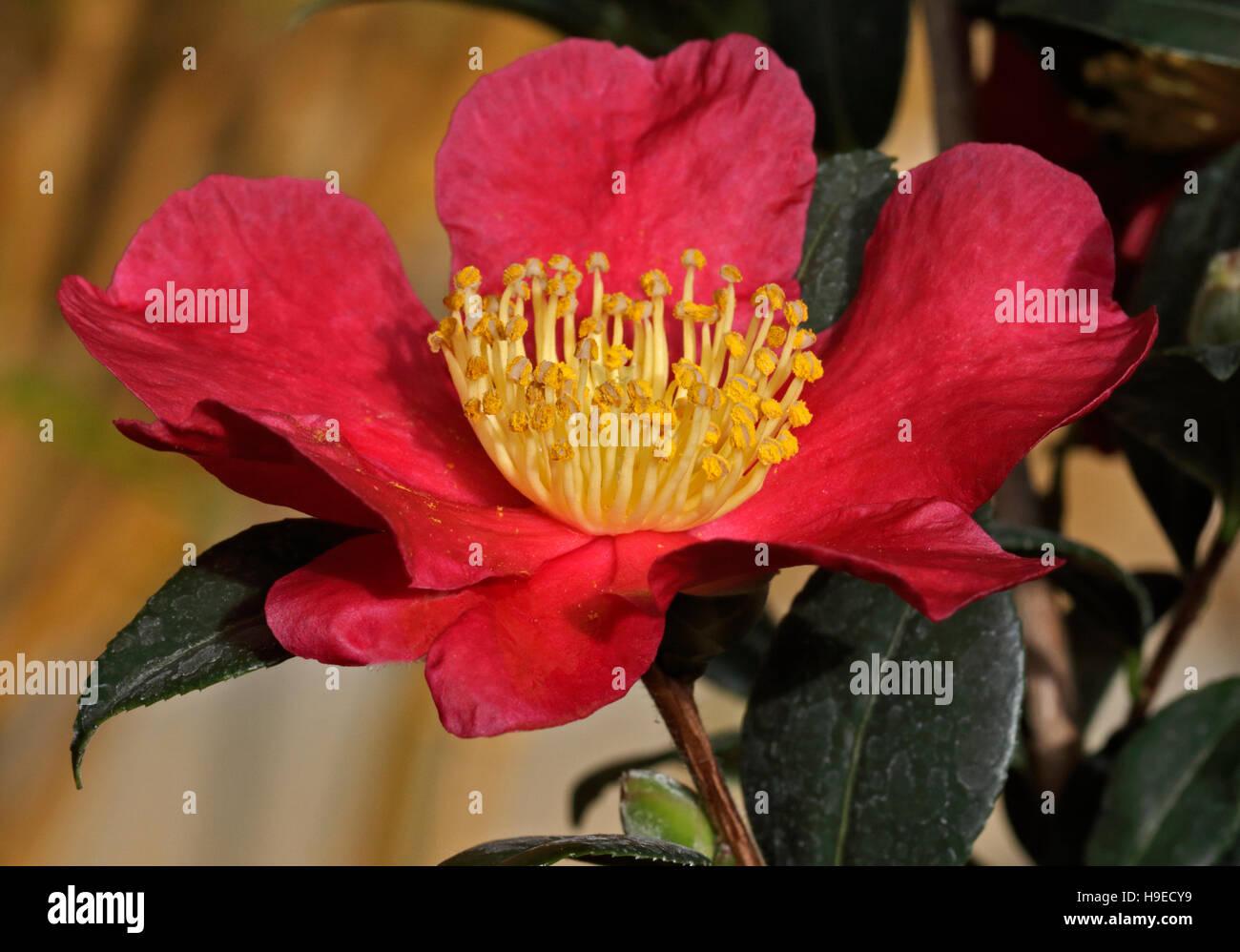 Camellia Vernalis Yuletide - winter flowering Camellia - Stock Image