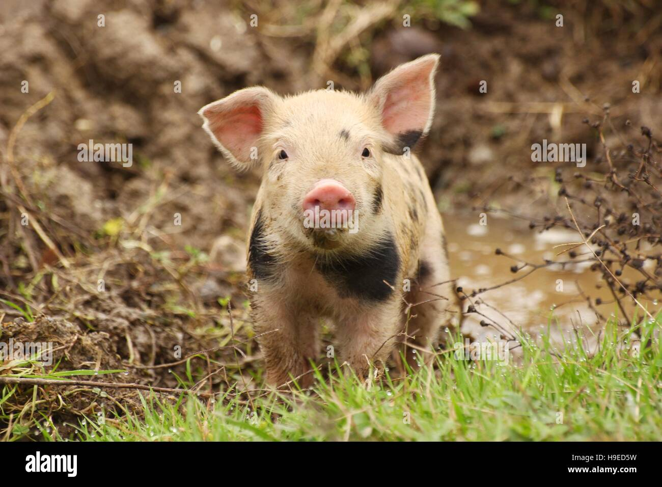 Cute piglet on the meadow - Stock Image