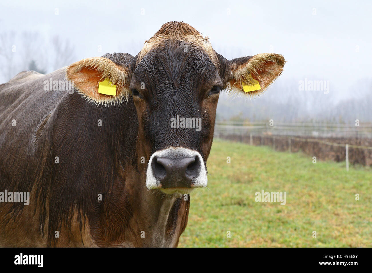Wet brown cow in green field on a rainy day - Stock Image