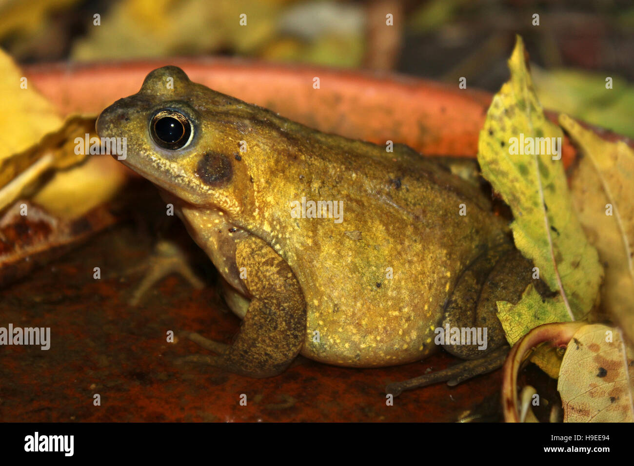 Common Frog Sat Amongst Autumn Leaves In A Garden Water Tray - Stock Image