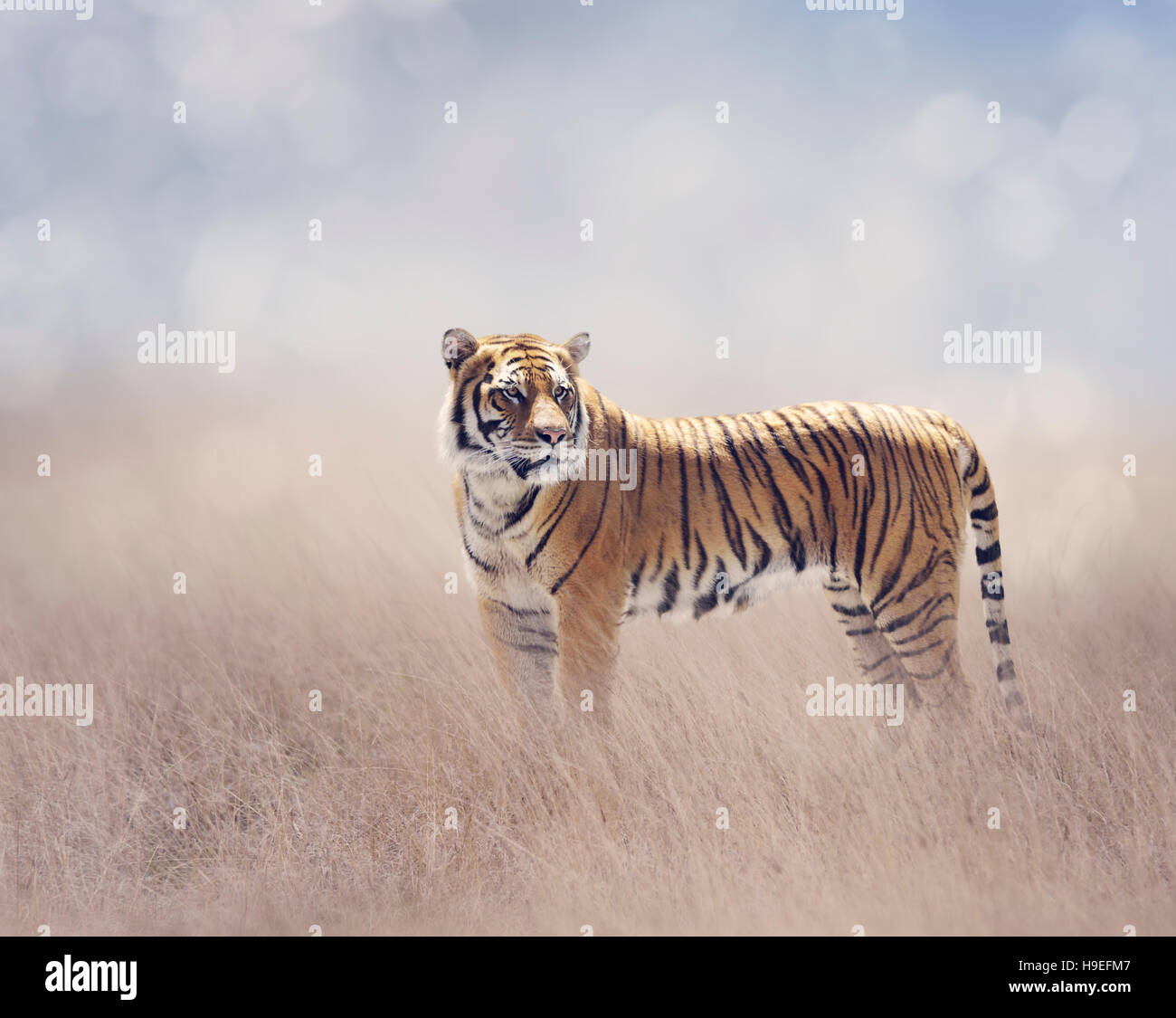 Bengal Tiger Walking in the Grassland - Stock Image