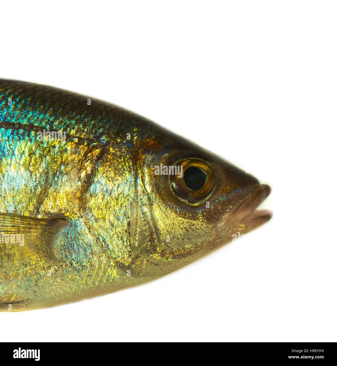 sea fish, closeup isolated - Stock Image