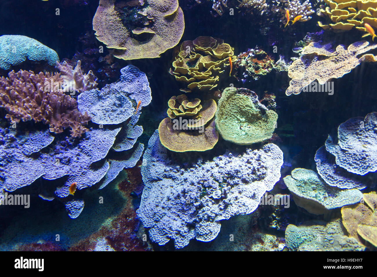coral reef with soft and hard corals with exotic fishes - Stock Image