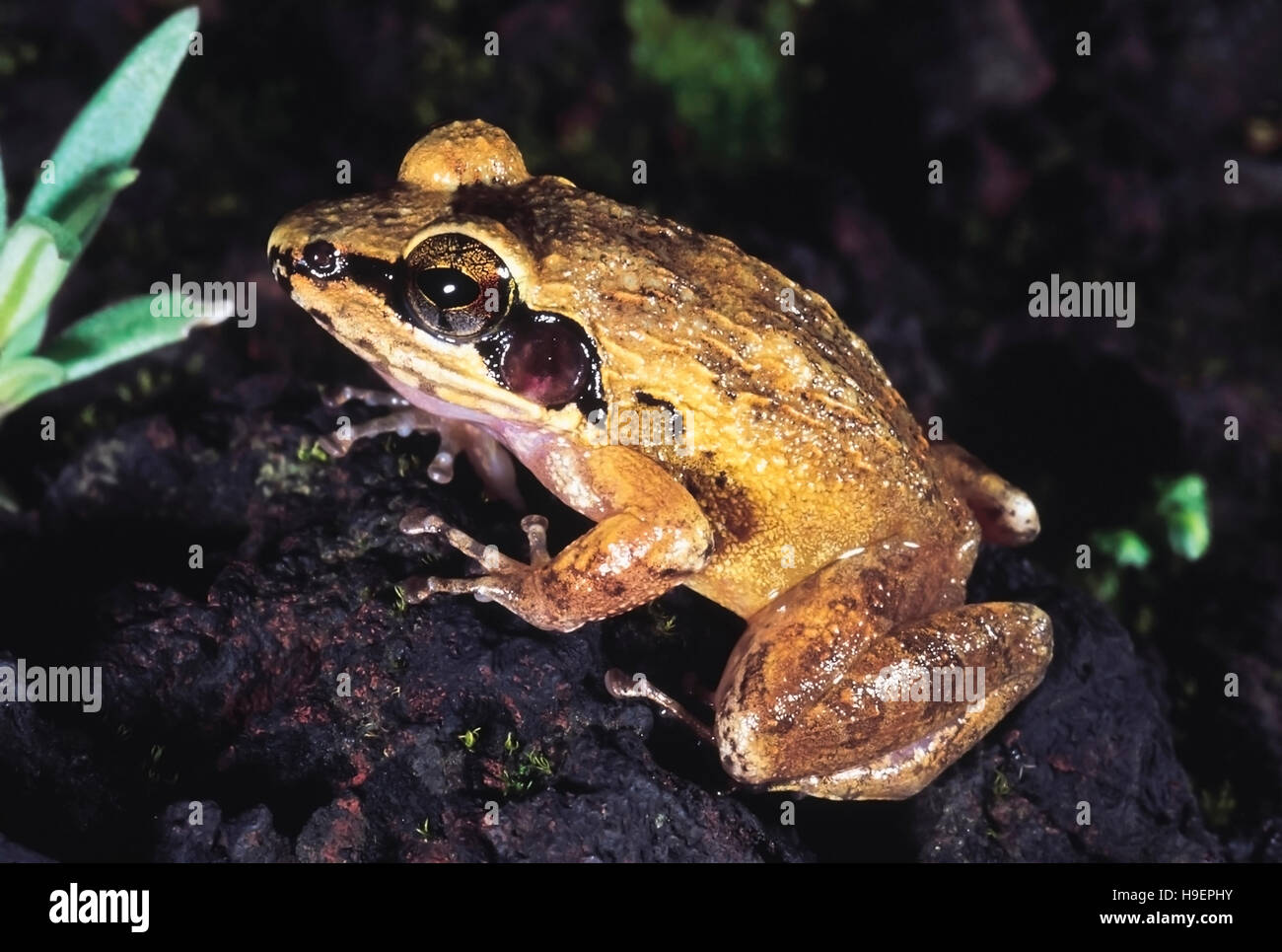 Frog. Phansad Wildlife Sanctuary, Maharashtra, India. - Stock Image
