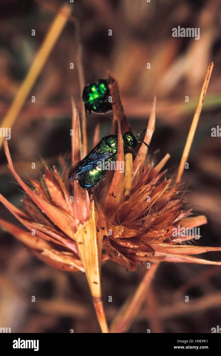 Cuckoo Wasps. Family Chrysidae. Near Torna Fort, Pune district, Maharashtra, India. - Stock Image