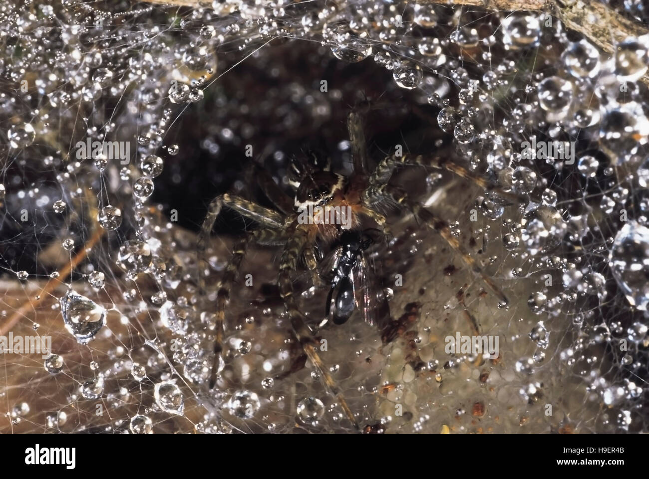 Funnel-web spider. This spider has a wasp in its jaws.Seven of its eight eyes are visible. Valvan lake shores, Maharashtra, Stock Photo