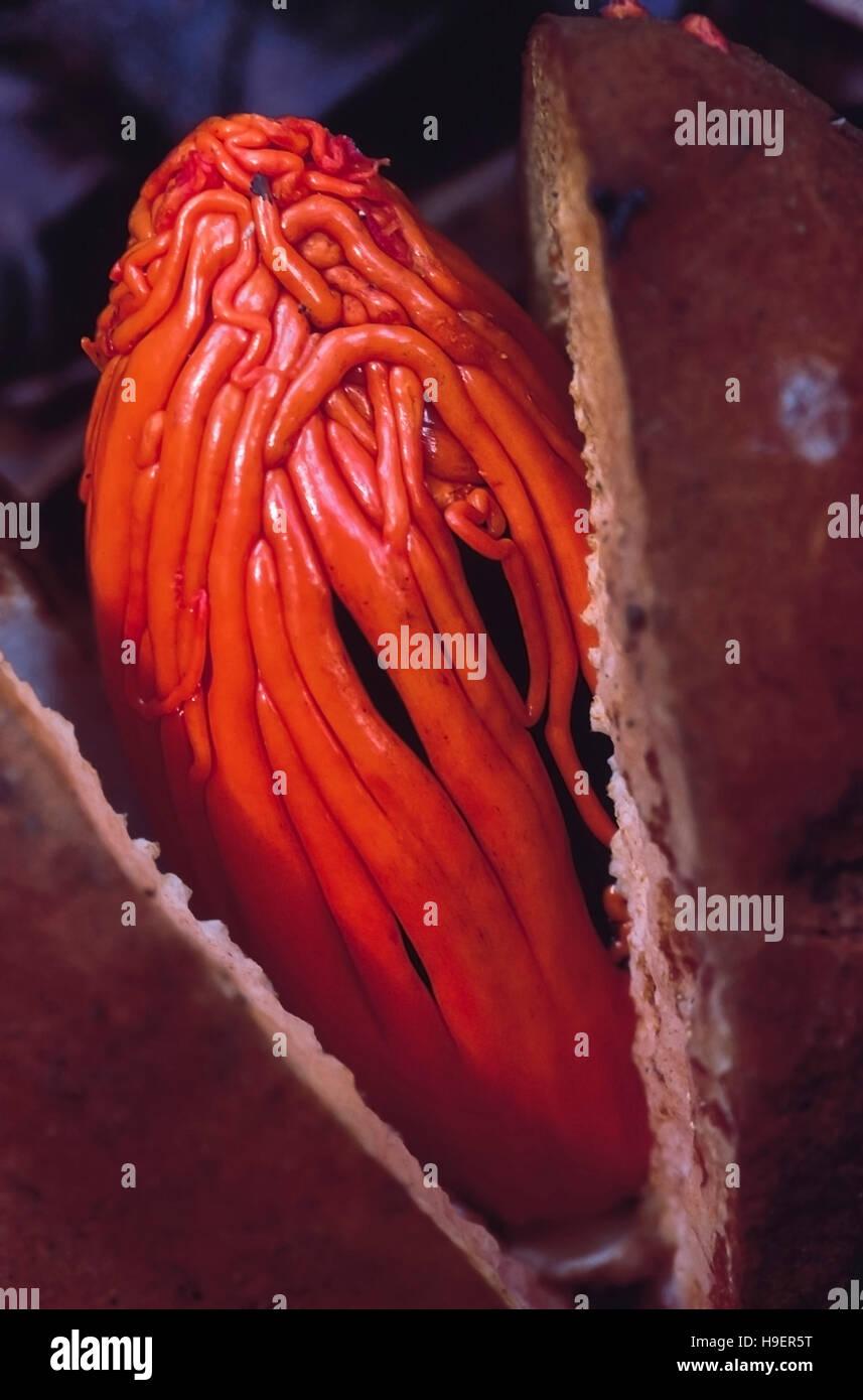 Knema Attenuata. Close up of Wild nutmeg. Castle Rock, Karnataka, India. - Stock Image