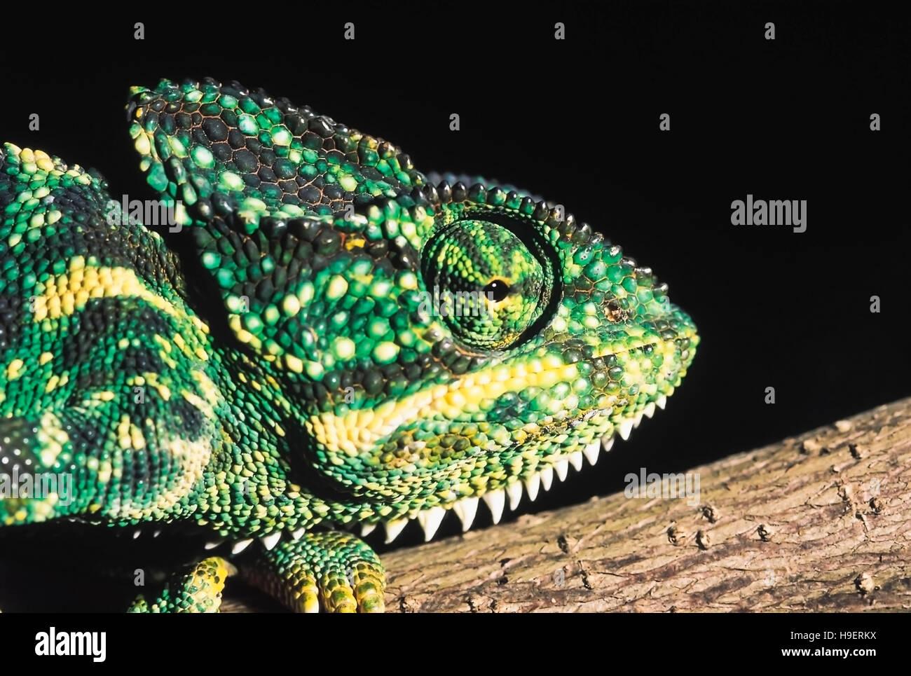 Chamaeleon Zeylanicus. Indian chameleon, Chamaeleon head. Maharashtra, India. - Stock Image