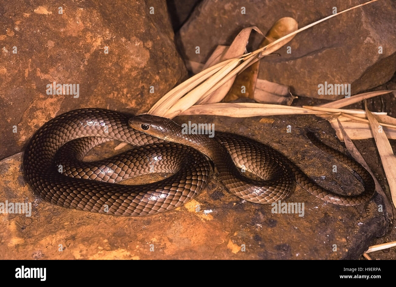Psammophis longifrons STOUT SAND SNAKE. FULL BODY. VERY RARE. Harmless. Endemic to India. Photograph of an individual - Stock Image