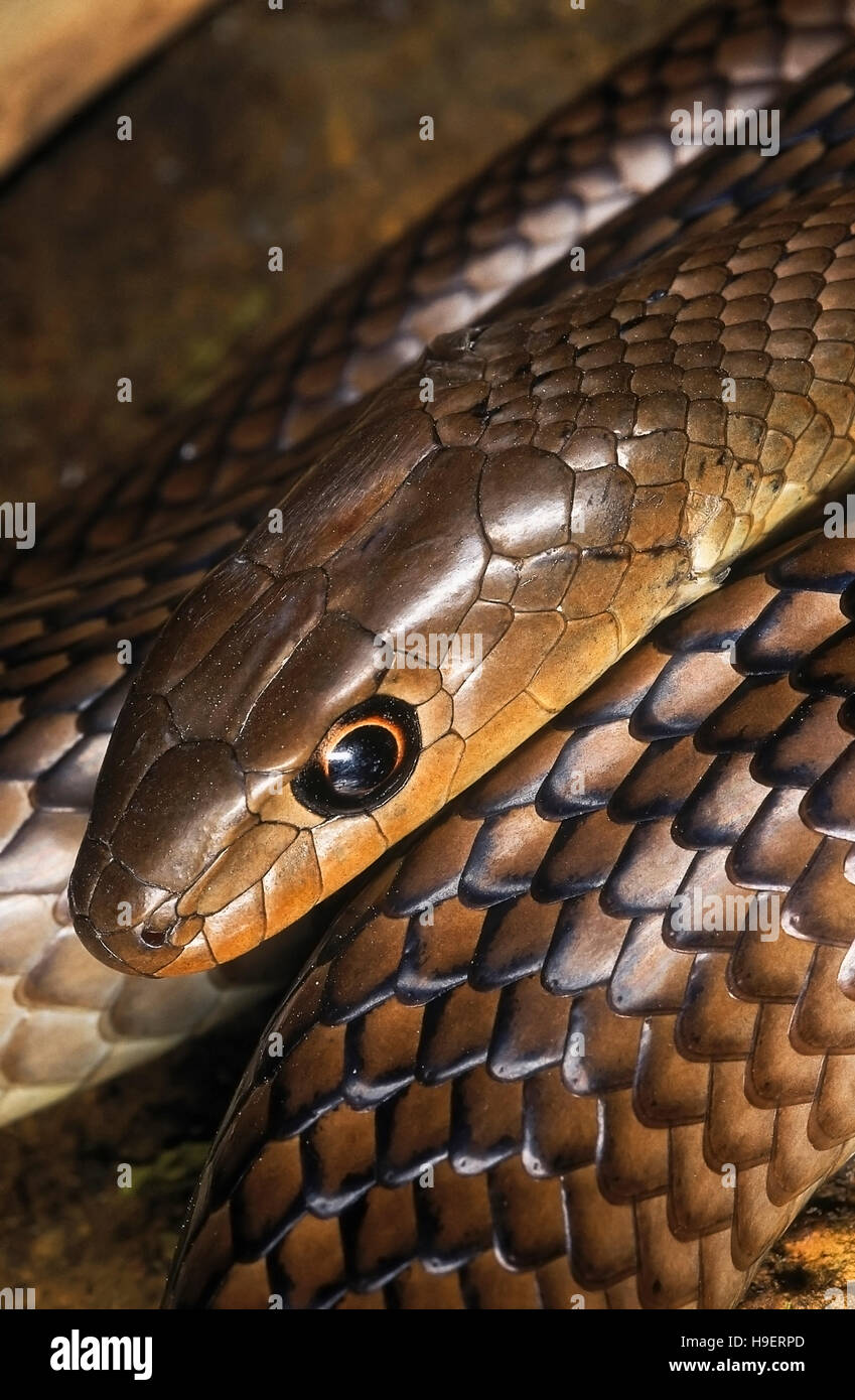 Psammophis longifrons STOUT SAND SNAKE. DETAIL - HEAD & SCALES. VERY RARE. Harmless. Endemic to India.Maharashtra, - Stock Image