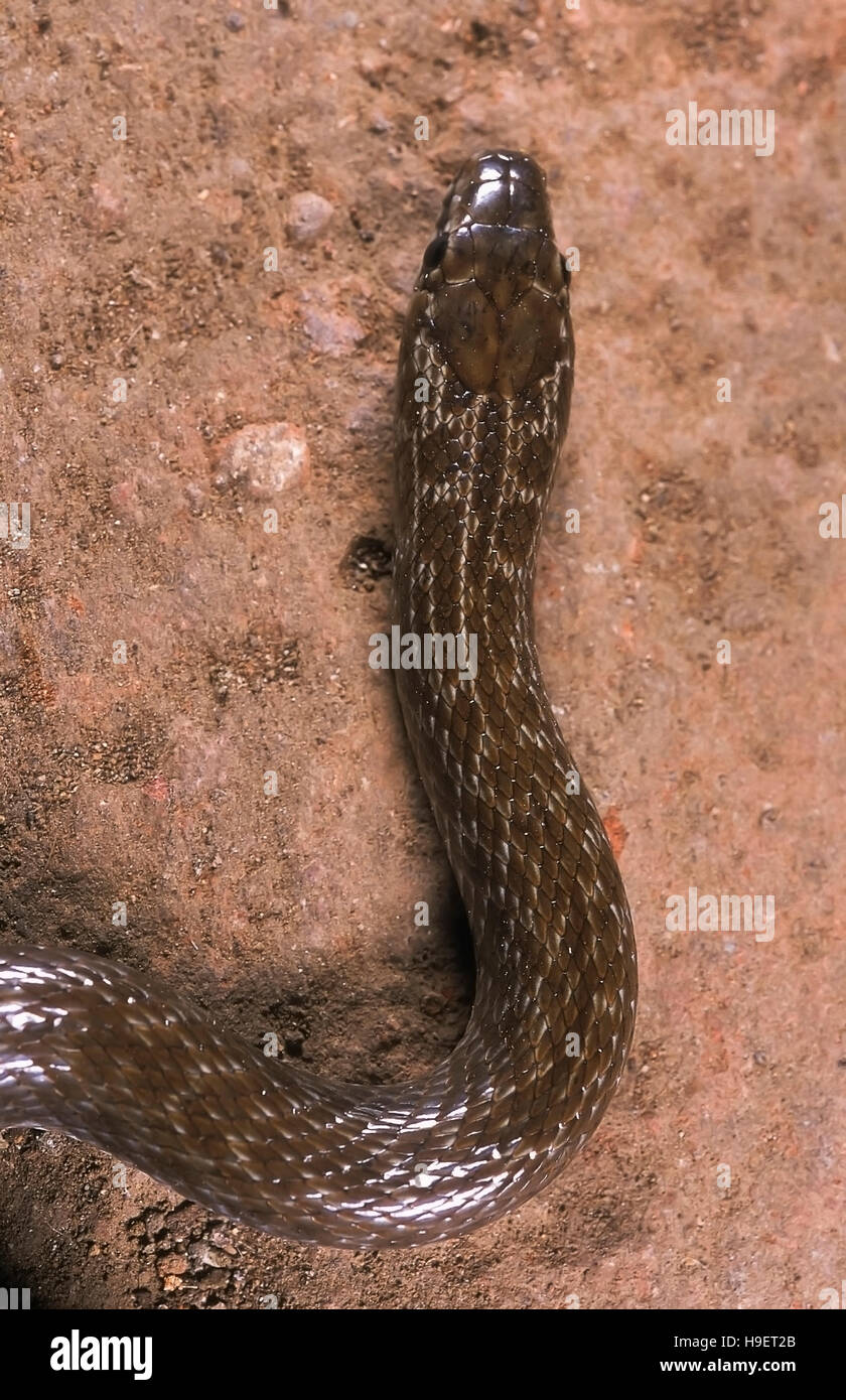 INDIAN SMOOTH SNAKE Coronella brachyura. Dorsal view head. Specimen from Maharashtra, India. - Stock Image
