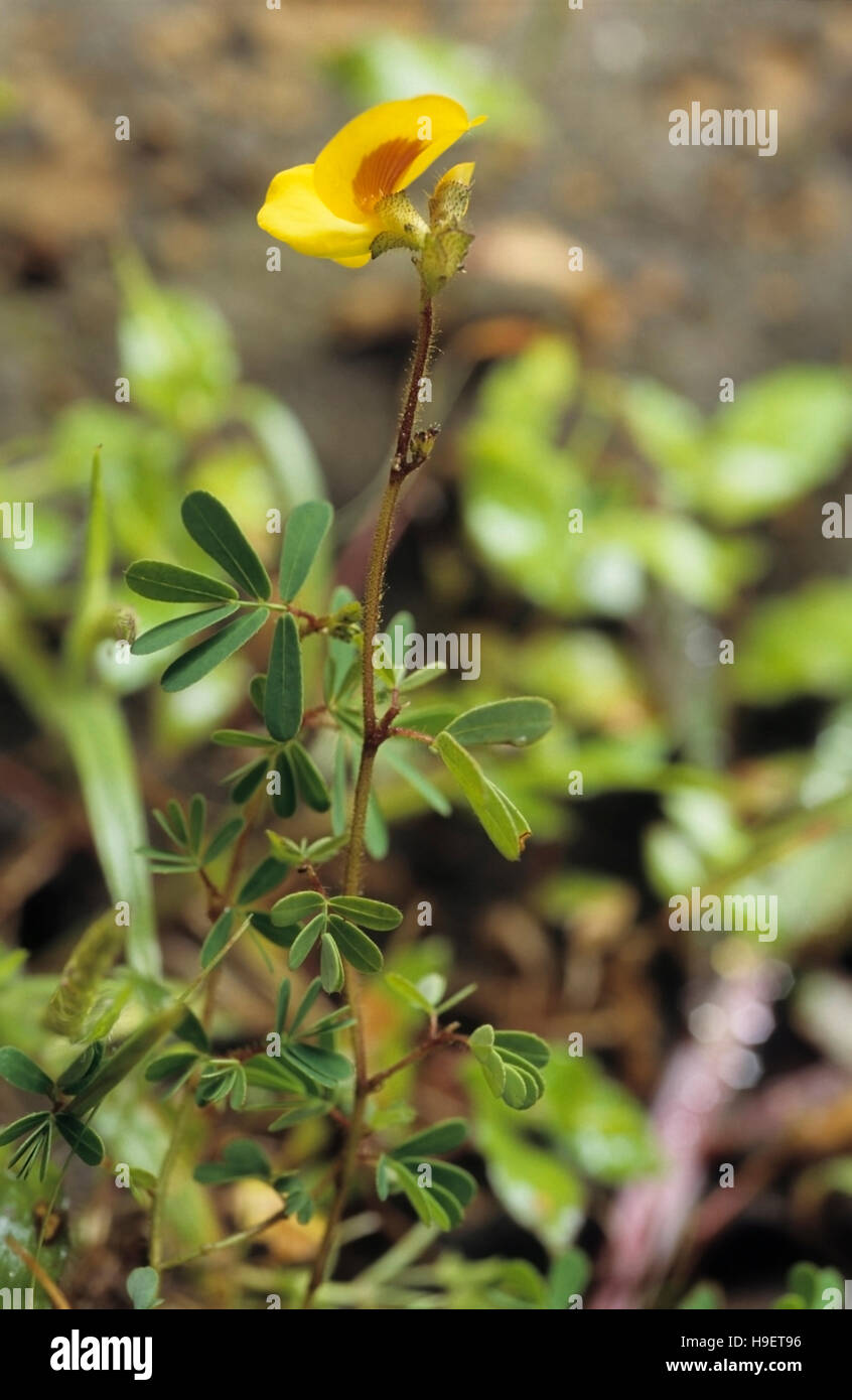 Smithia hirsuta monsoon plant of rocky areas in the Western Ghats, India. - Stock Image
