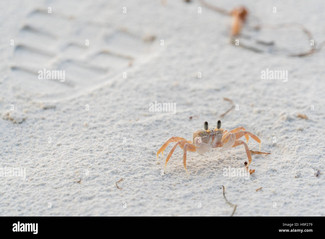 Ghost crab on the white sands of Diani Beach, Mombasa - Stock Image