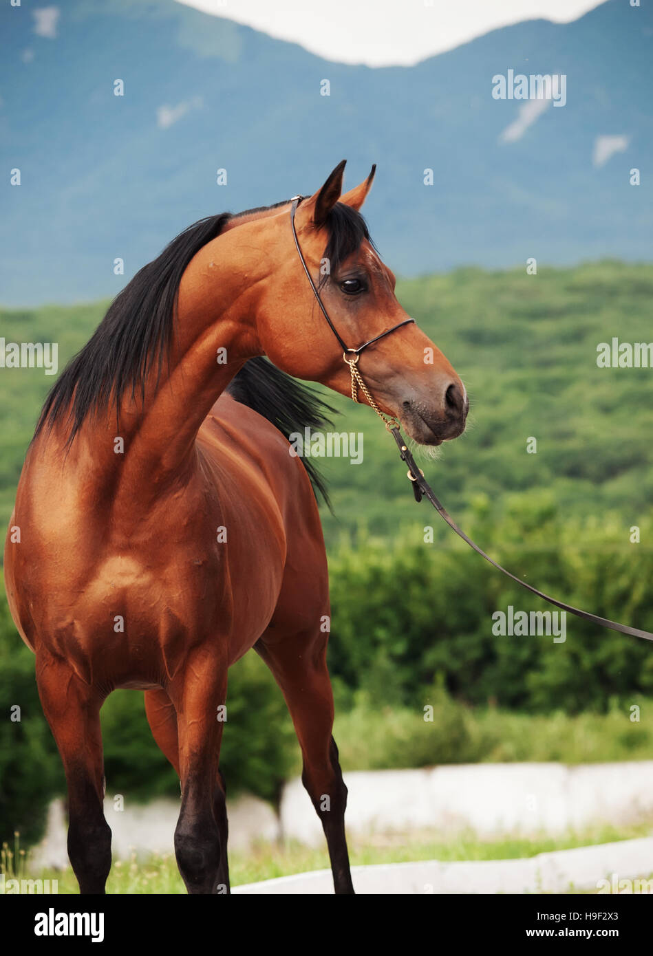 portrait of bay arabian stallion at mountain background - Stock Image