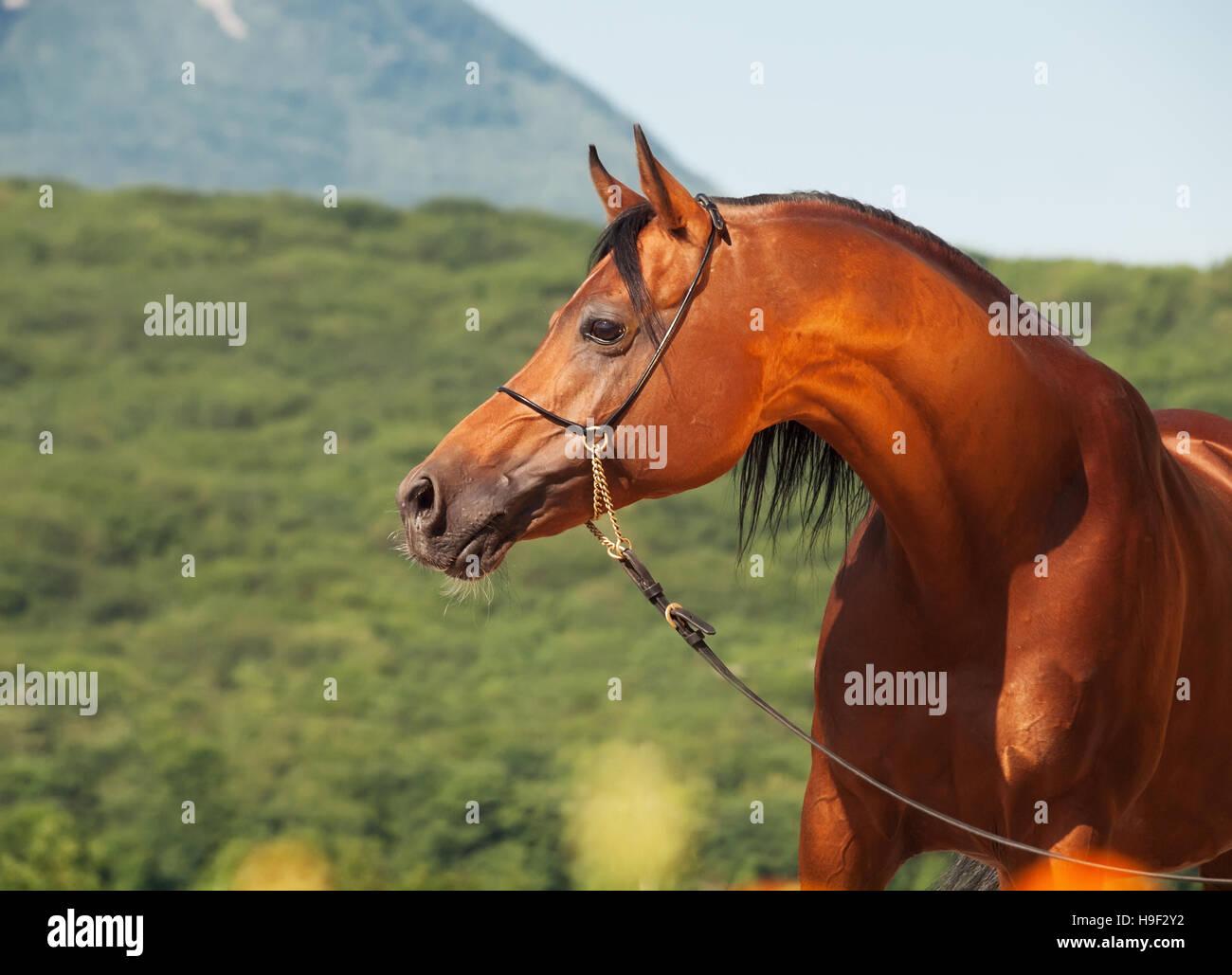 bay beautiful arabian stallion at mountain background - Stock Image