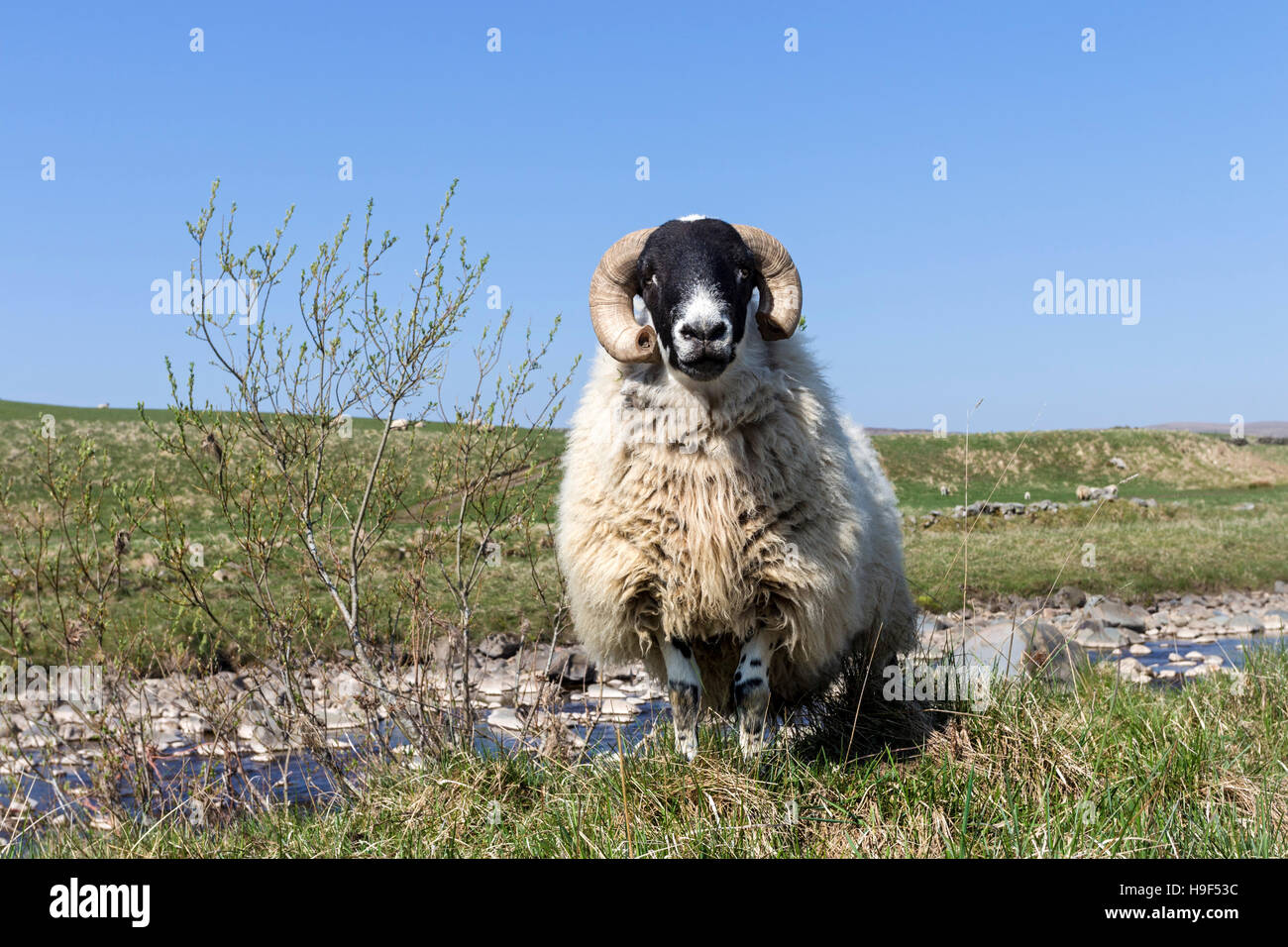 Inquisitive Tup Standing on The Pennine Way Footpath Near Langdon Beck in Upper Teesdale, County Durham UK - Stock Image