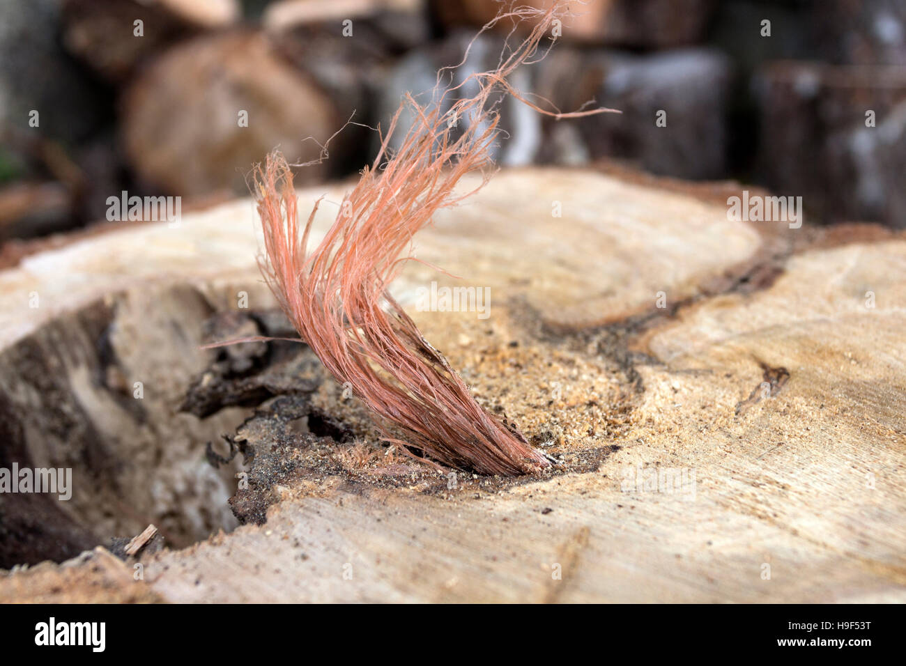 Plastic Bailing Twine Trapped in the Central Growth Rings of a 40+ year Old Tree.  Some Plastics do not degrade - Stock Image