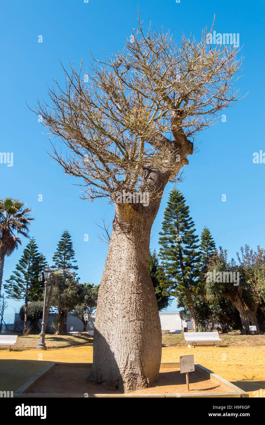 Chorisia Speciosa tree, Genoves Park, Cadiz, Andalusia, Spain Stock Photo