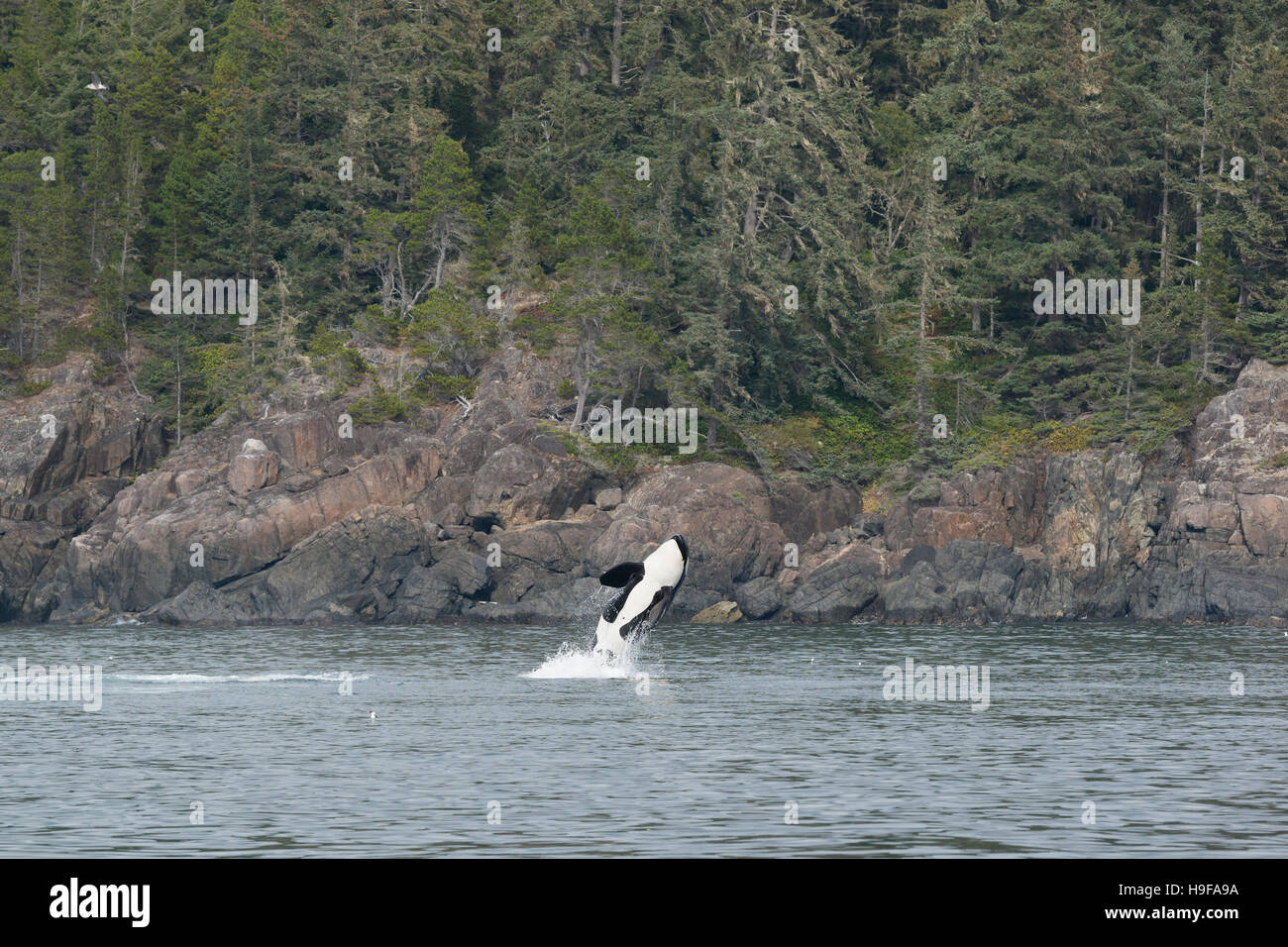 southern resident orca, or killer whale, Orcinus orca, breaching, Vancouver Island, British Columbia, Canada - Stock Image