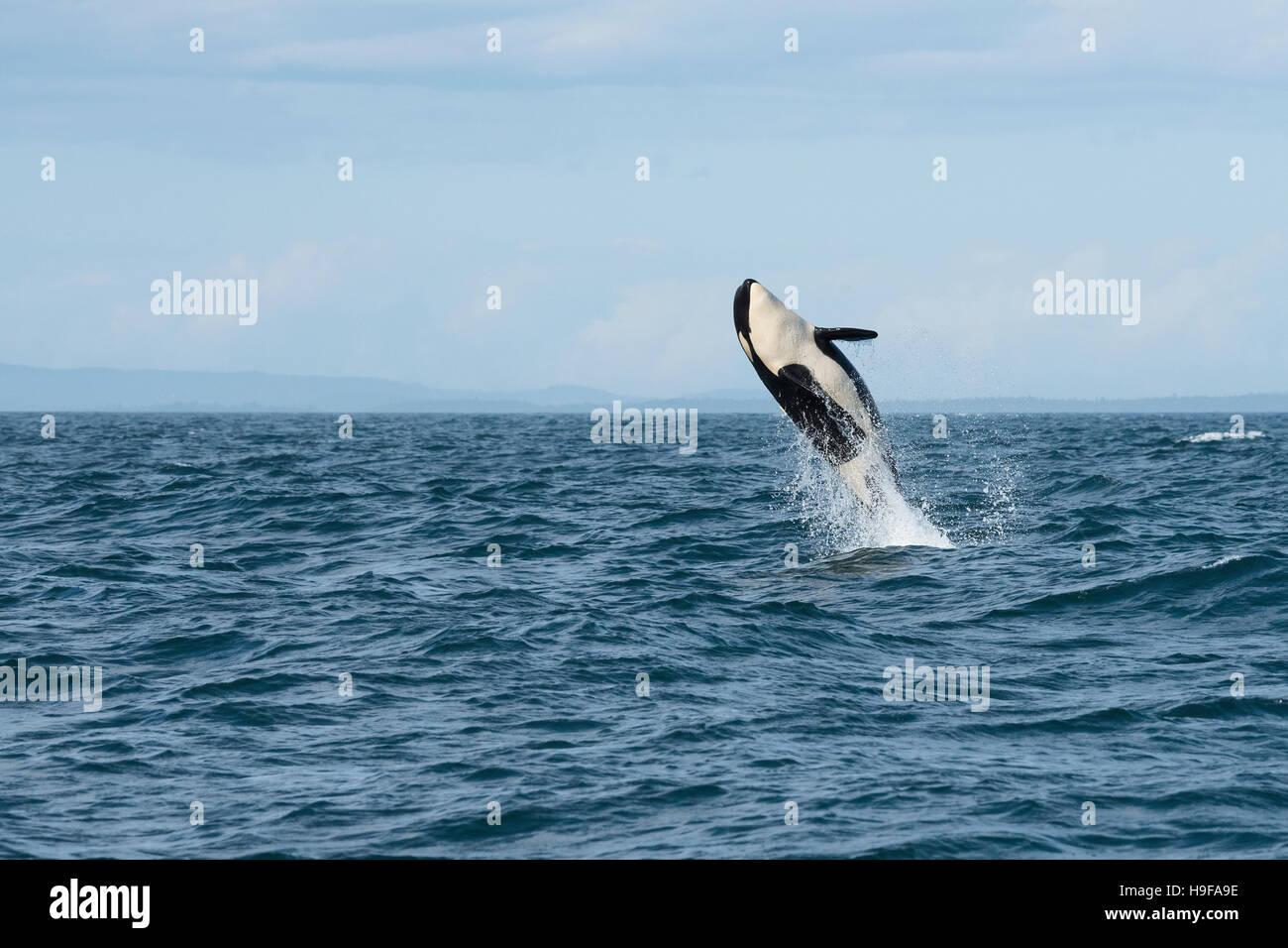 southern resident orca, or killer whale, Orcinus orca, juvenile breaching, Vancouver Island, Strait of Juan de Fuca, - Stock Image