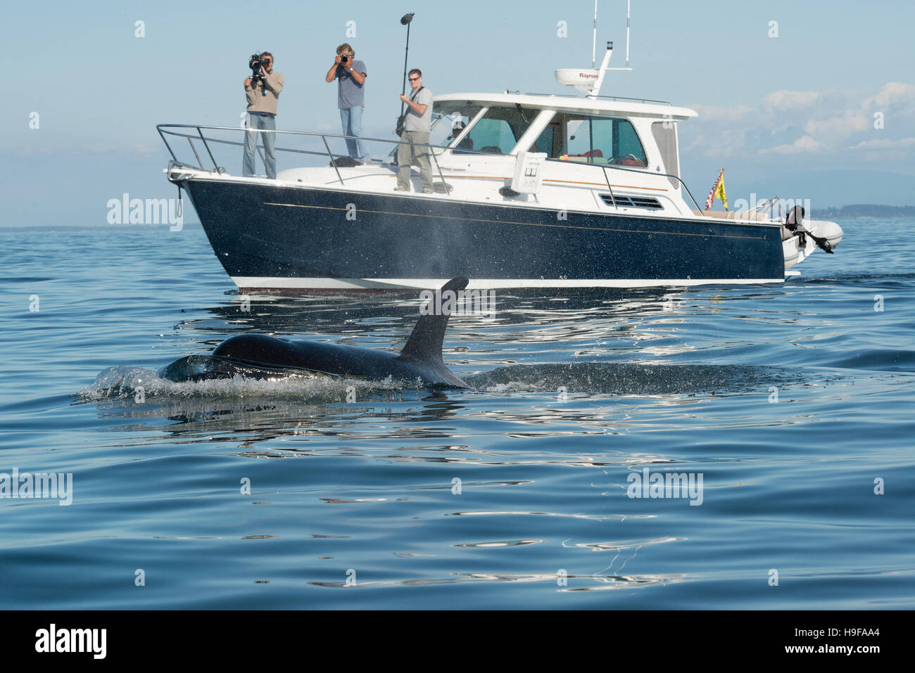 transient orca or killer whale, Orcinus orca, passes next to a research vessel with a film crew in the San Juan - Stock Image