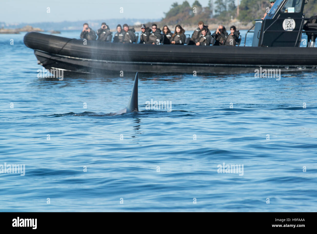 transient orca or killer whale, Orcinus orca, surfaces next to a whale watching tour boat, off Vancouver Island, - Stock Image