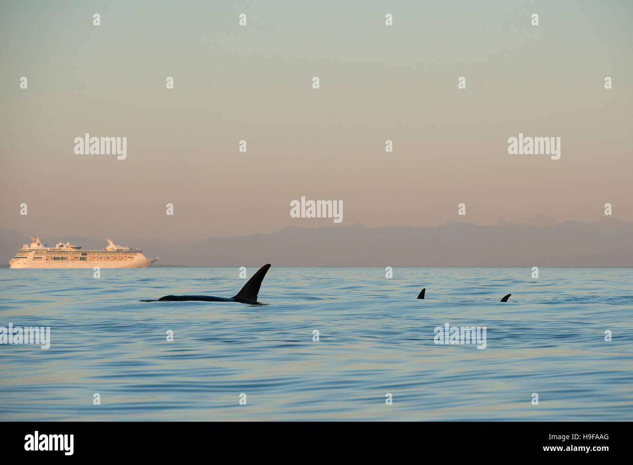 transient orcas or killer whales, Orcinus orca, swim past a cruise ship in the Strait of George, off Vancouver Island, - Stock Image