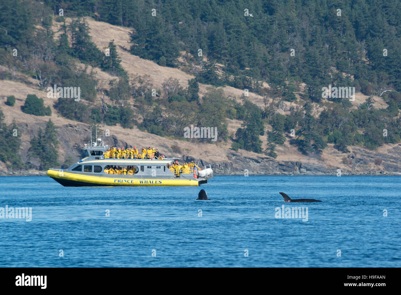 transient orcas or killer whales, Orcinus orca, surface next to a whale-watching boat, San Juan Islands, Washington, - Stock Image