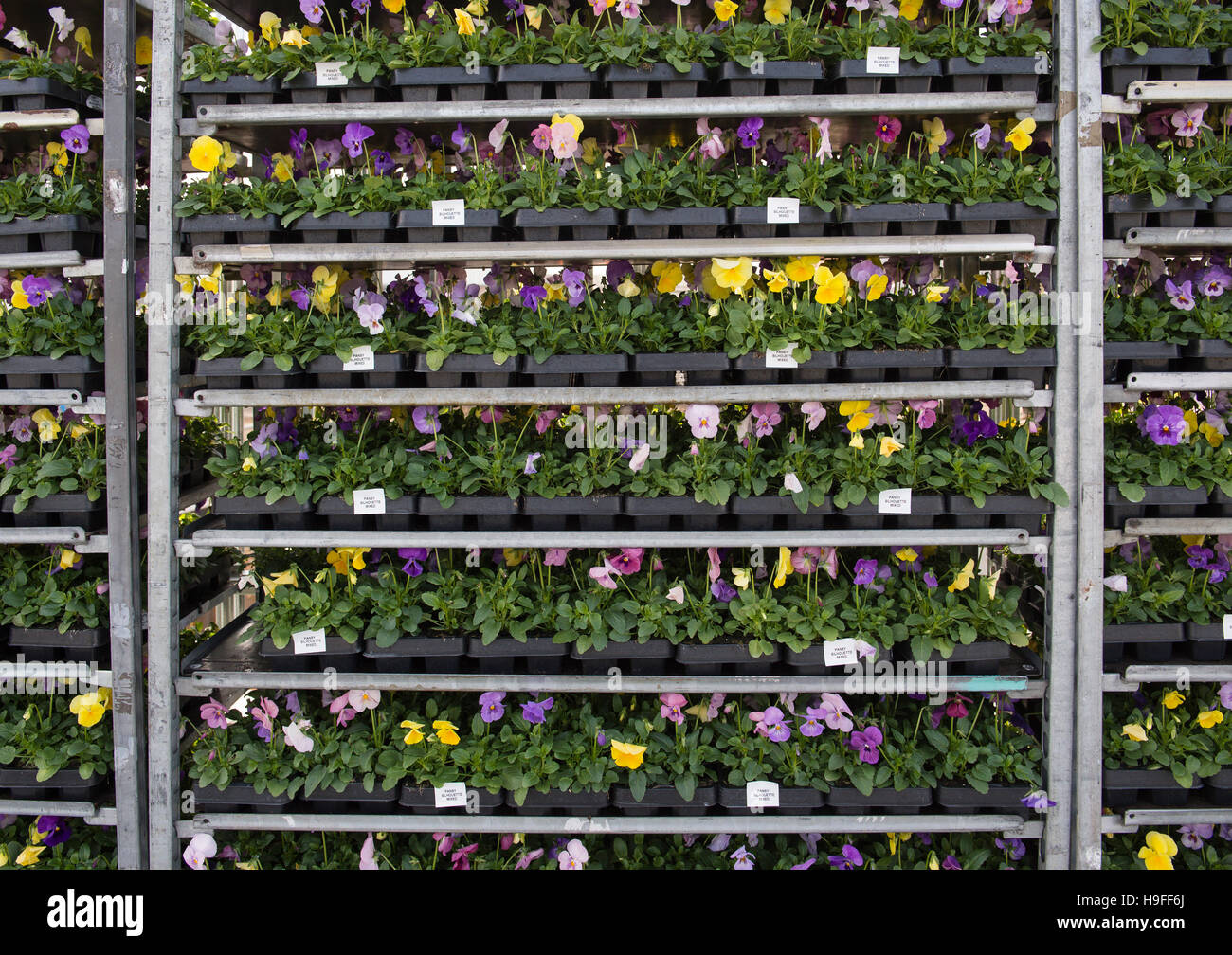 Pansies for use in landscaping public spaces. - Stock Image
