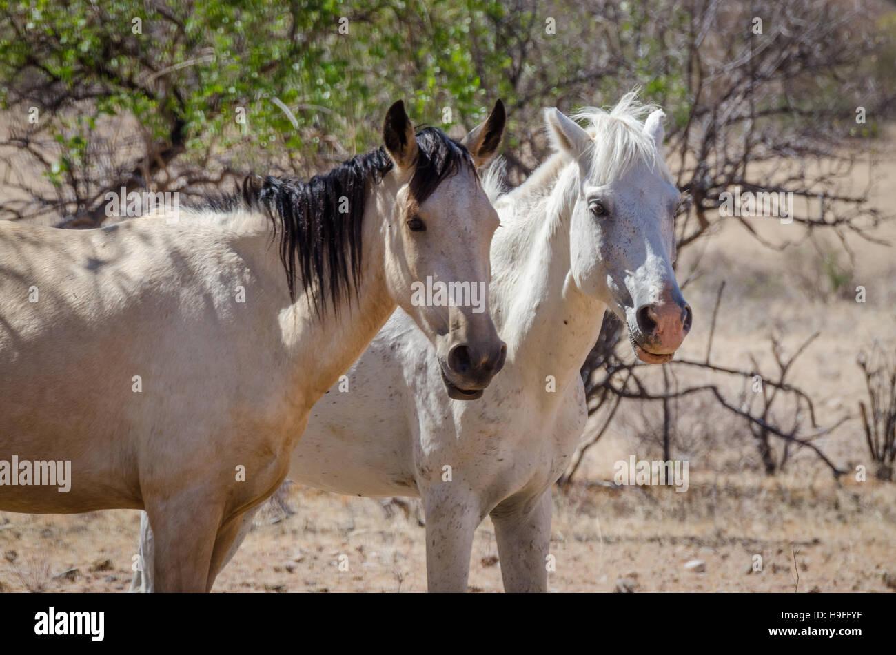 Two wild horses roaming through the Namib Desert of Angola - Stock Image