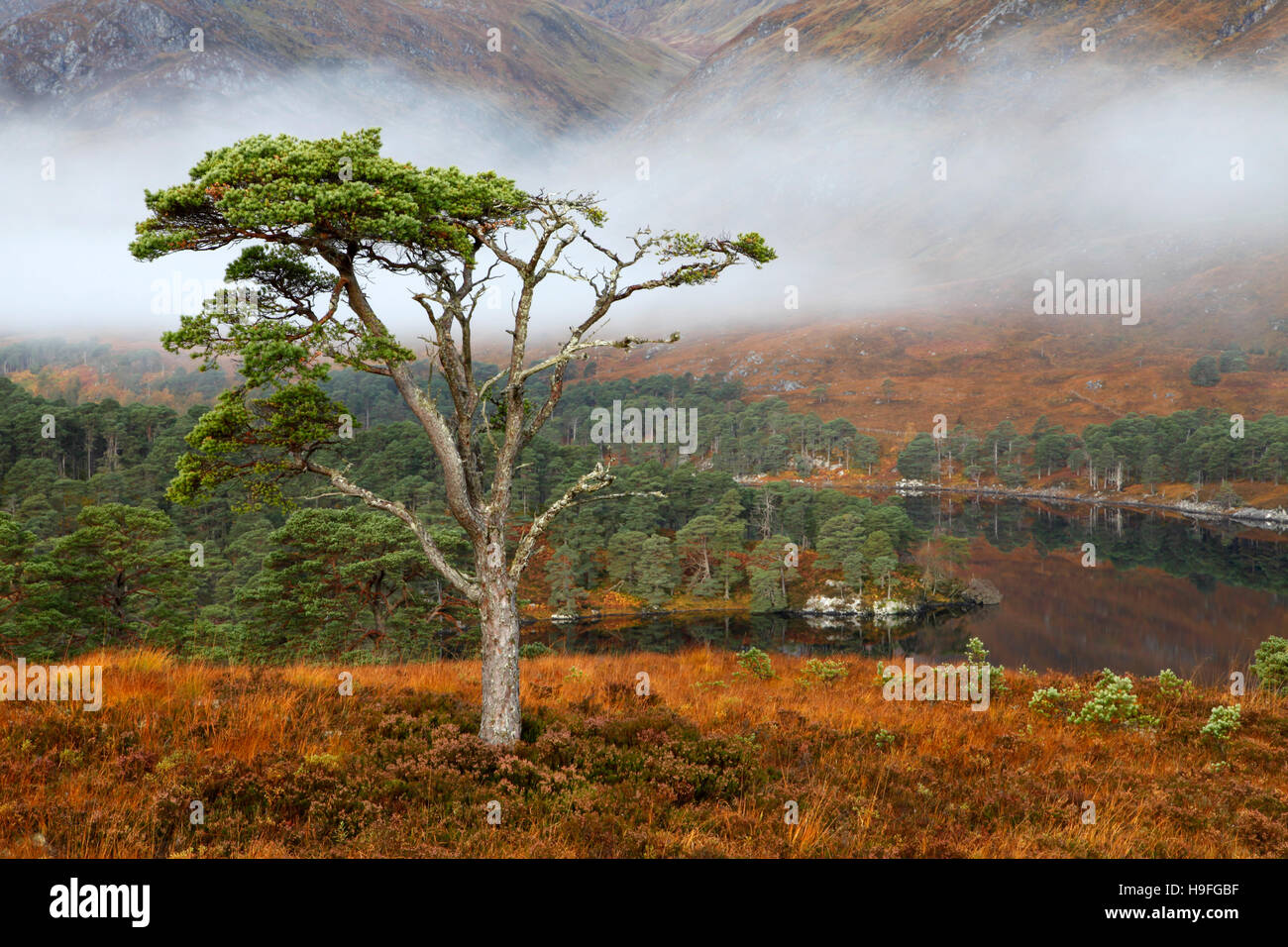 A scots pine standing on a hillside above Loch Affric, Inverness-shire, Scotland on a misty morning in October. Stock Photo