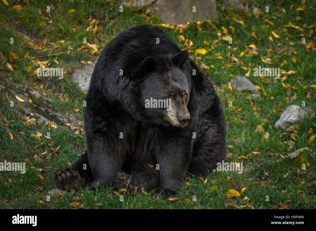 Black bear wondering what's going on. - Stock Image