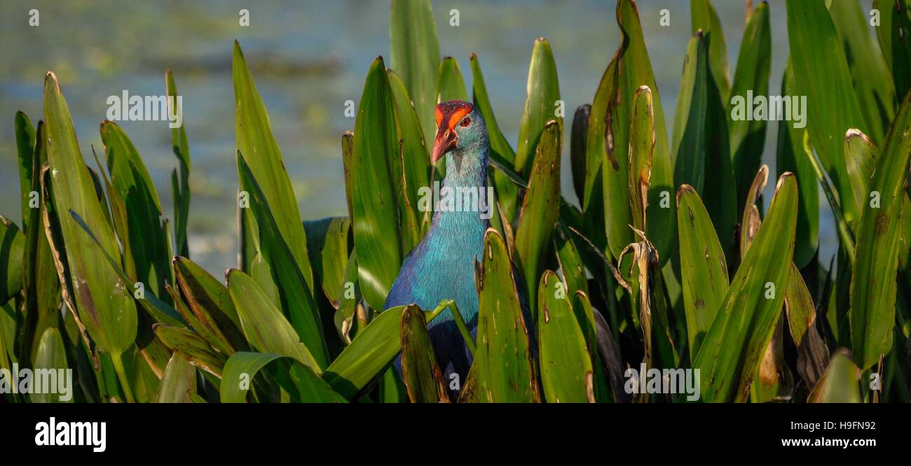 Grey headed swamphen in the leaves in Florida, USA. - Stock Image