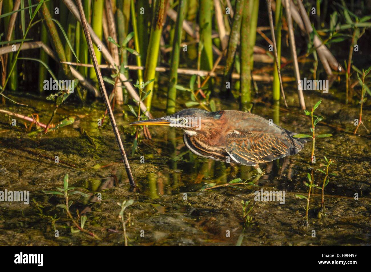 Juvenile green heron on the move. - Stock Image