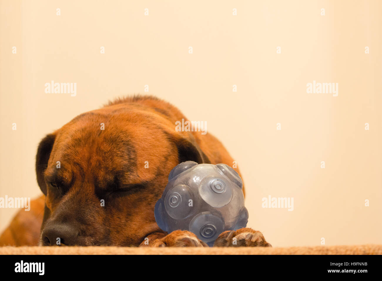 Dog Asleep on the floor with toy ball - Stock Image