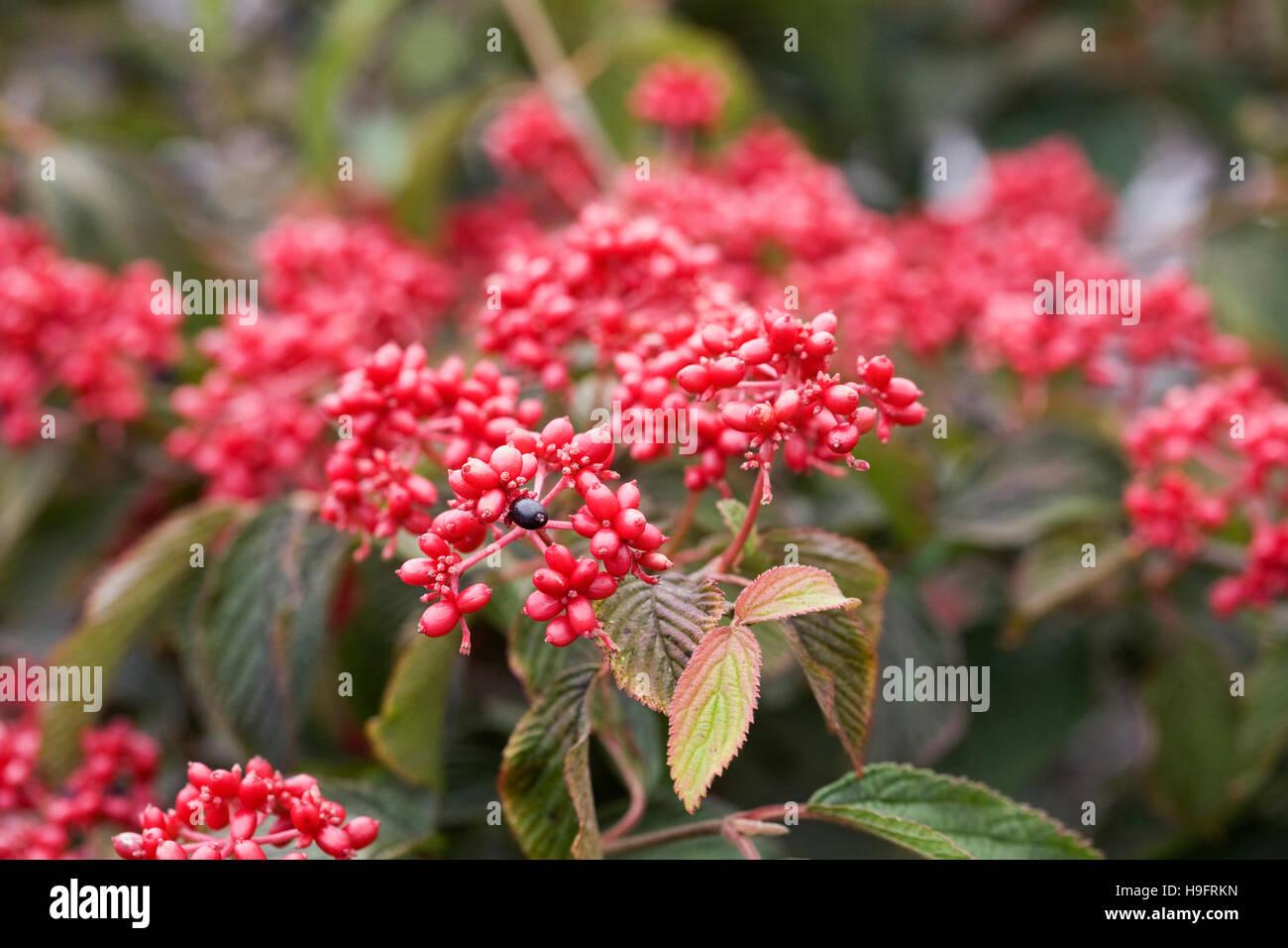 Viburnum plicatum f. tomentosum 'Rowallane''. - Stock Image