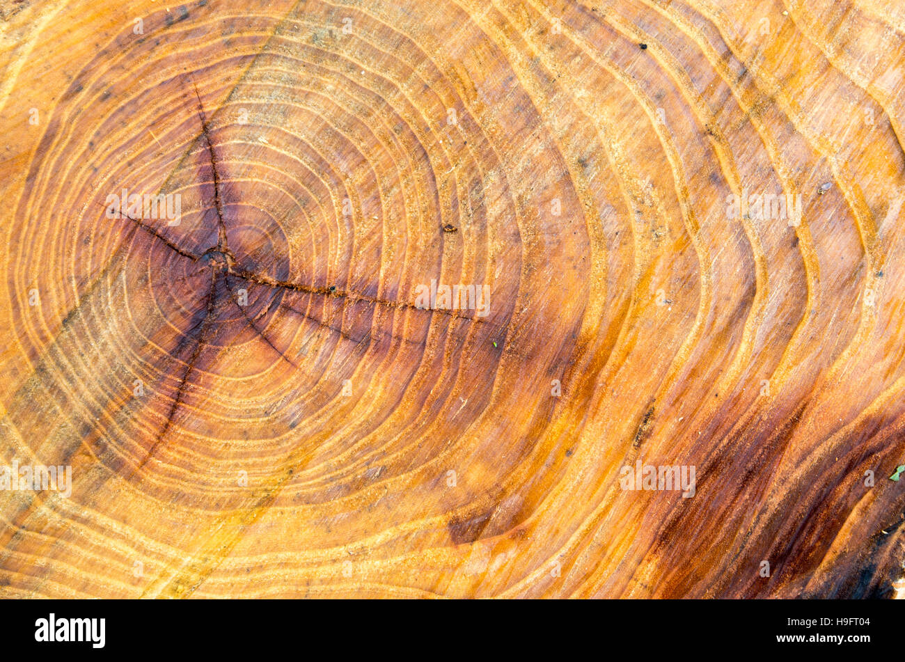 Old and wet cut down a tree with annual rings close-up Stock Photo