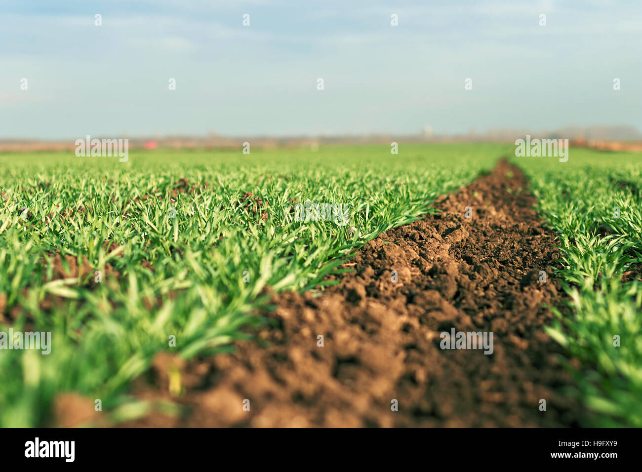 Young green wheat growing in soil. Young wheat seedlings growing in a field. Stock Photo