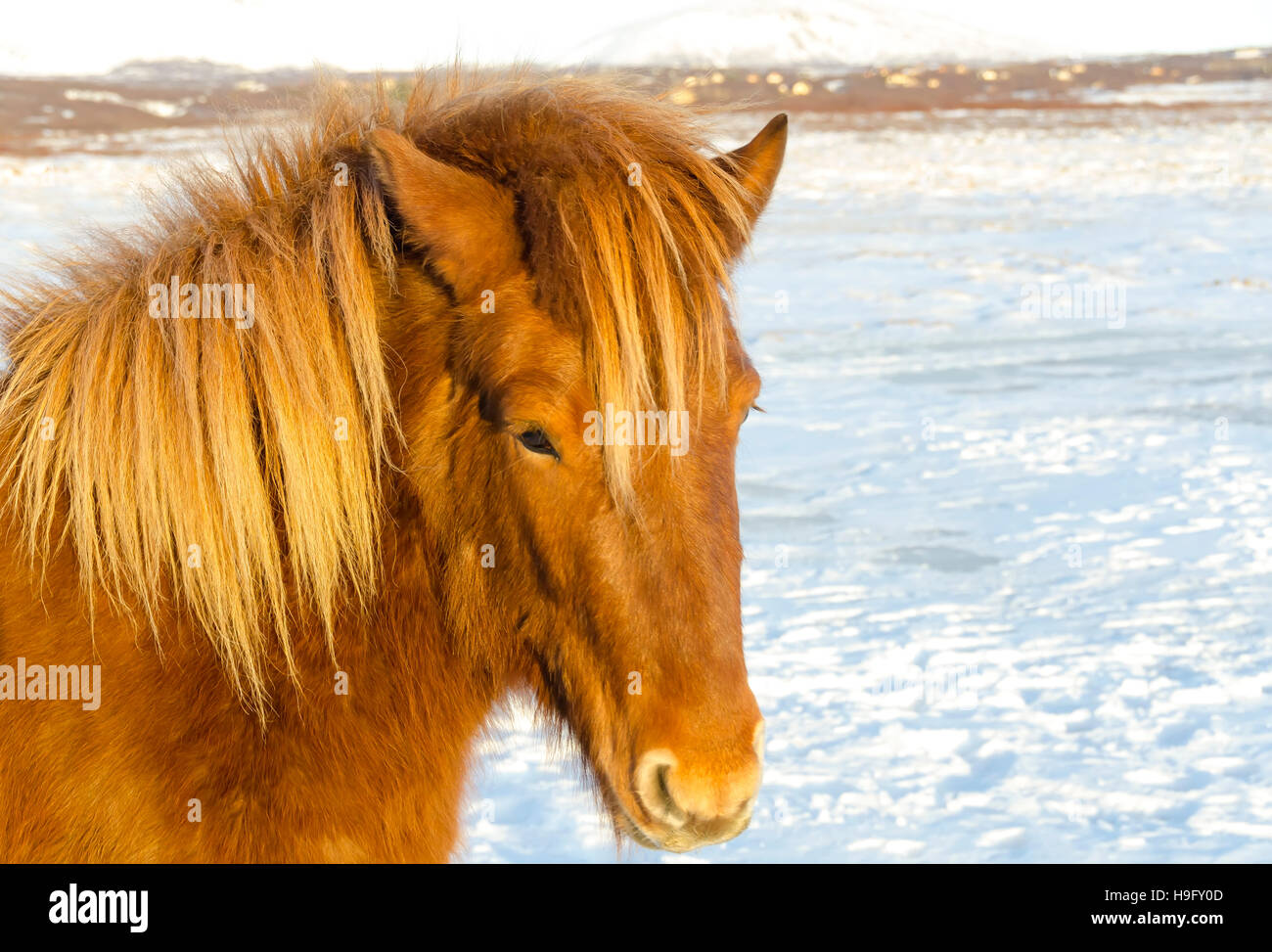 Icelandic horse in snowy pasture - Stock Image