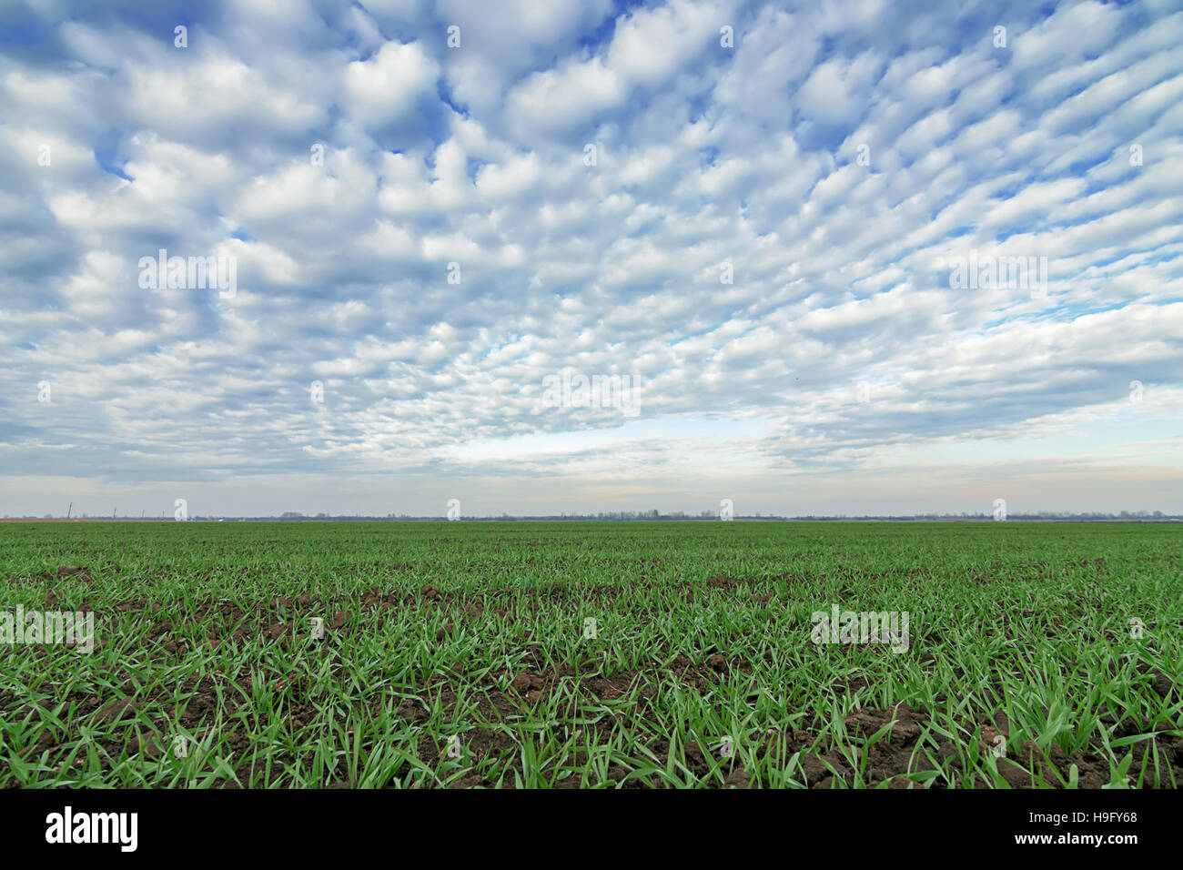 Winter wheat seedlings and blue sky. Young wheat  in field. Young wheat seedlings growing in a field. - Stock Image