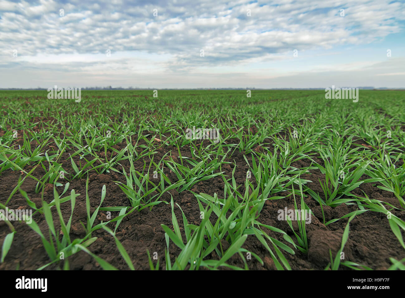 Wheat seedlings and blue sky. Young wheat  in field. Young wheat seedlings growing in a field. - Stock Image