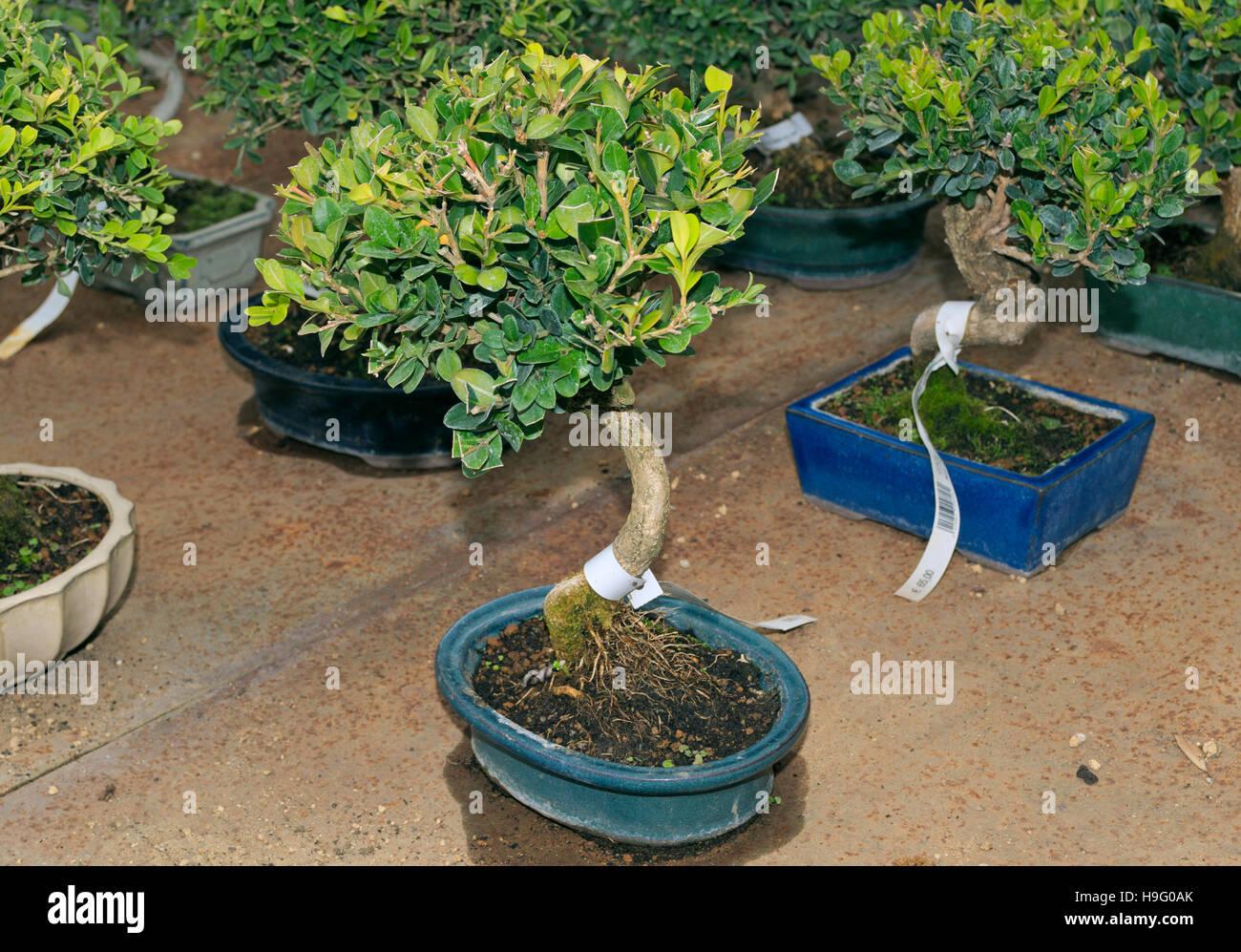 Boxwood Buxus Sempervirens Bonsai Plants For Sale Stock Photo Alamy