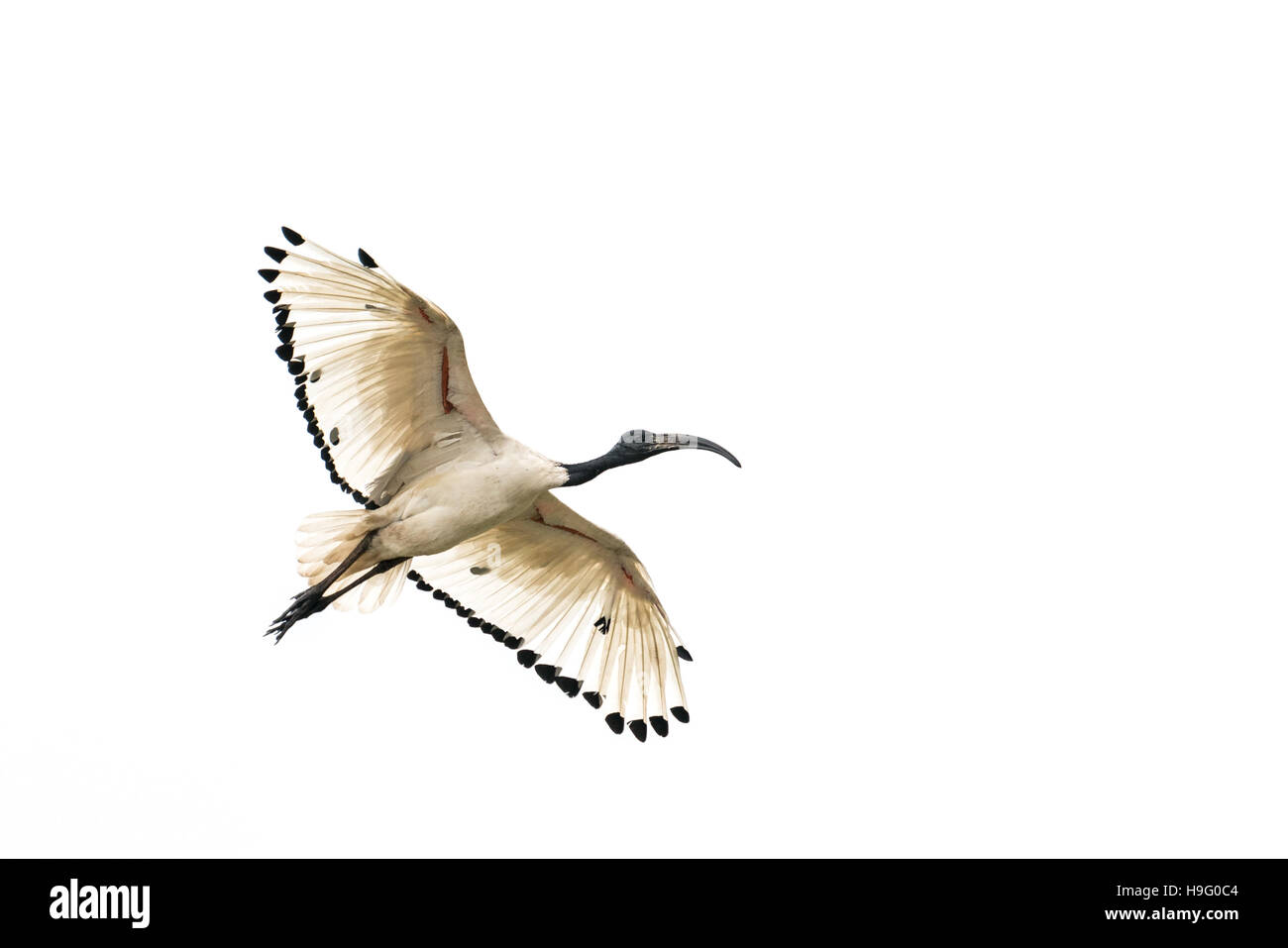 A white Ibis flying in the air with its wings spread - Stock Image