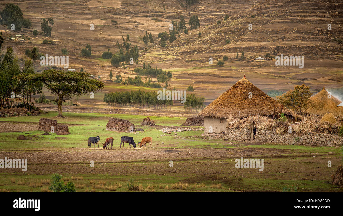Cattle grazing near a small village hut with Tatched roof Sendafa area in Ethiopia - Stock Image
