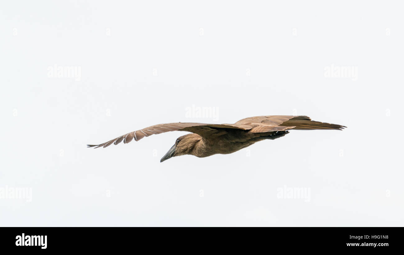 Hamerkop in mid flight over Hawassa Lake - Stock Image